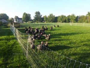 Pastured turkeys are happy turkeys
